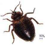 Bed Bug Bolton Pest Control