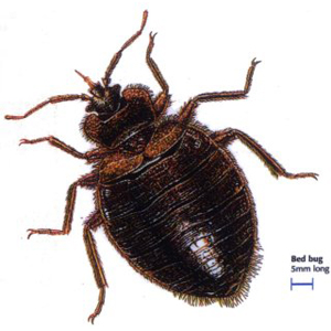 Bedbugs Bolton Pest Control