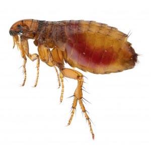 Flea Bolton Pest Control
