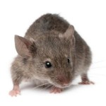 Mice Bolton Pest Control