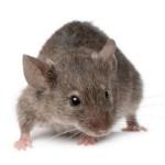 Mice Bolton Pest Control