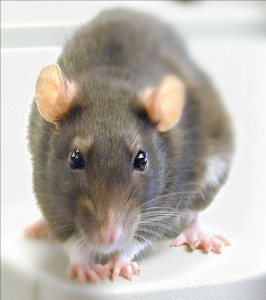 Rat Control in Bolton and the North West