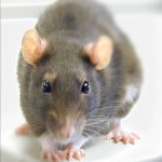 Rat Bolton Pest Control