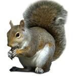Squirrel Bolton Pest Control