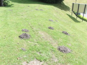 moles on a grass verge.